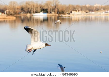 Seagull With Ring Over The Water