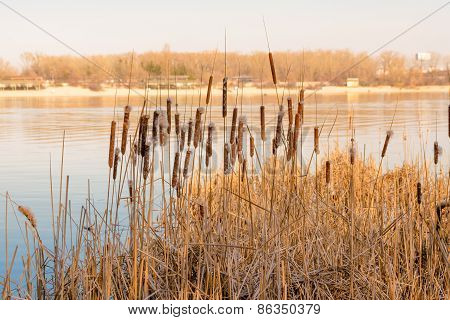 Dry Reeds With Flower