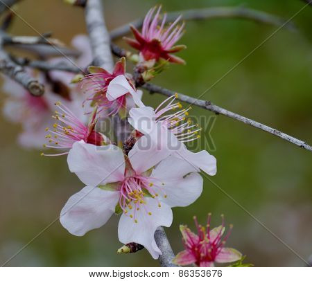 The pink color of a flowering Prunus