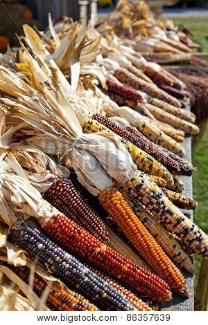 Dried Maize Corn At Harvest Time