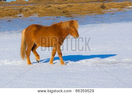 Icelandic Horses in snow field