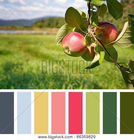 Ripe apples hanging from a tree in an orchard, in a colour palette, with complimentary colour swatches