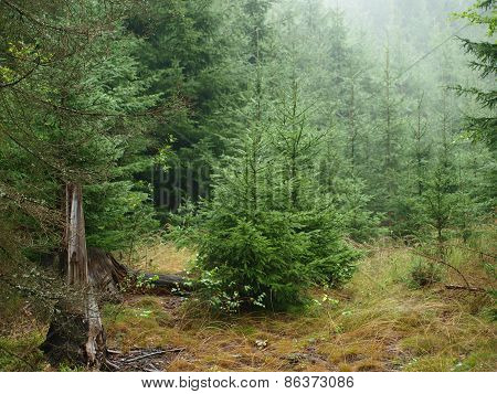 Spruce Forest In Summer