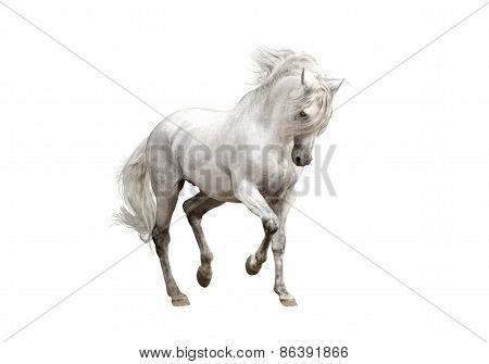 White Andalusian Horse Stallion Isolated On White Background
