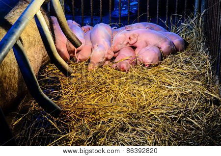 Newborn Pigs Sleeping On The Straw.