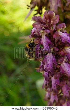 Bumblebee Pollinating Wild Orchid