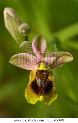 Wild Sawfly Orchid Flower - Ophrys Tenthredinifera