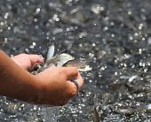 Kid hands full of shiny argent small fishes. poster