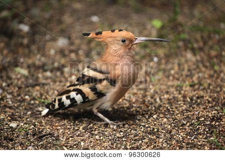 Eurasian hoopoe (Upupa epops). Wild life animal.