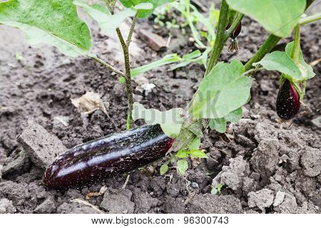 Ripe Eggplant On Bed In Garden