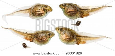 Set Of Frog Tadpoles Close Up Isolated On White