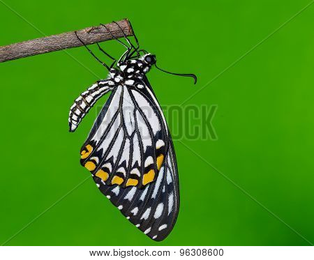 Male common mime butterfly resting after emerged poster