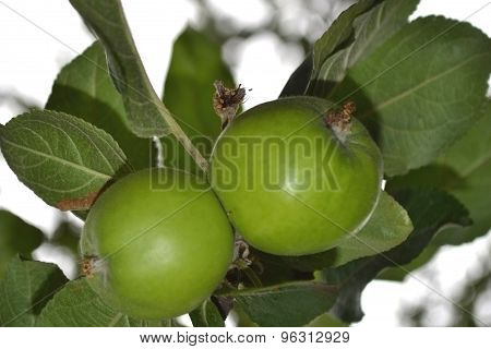 The branch with green apples