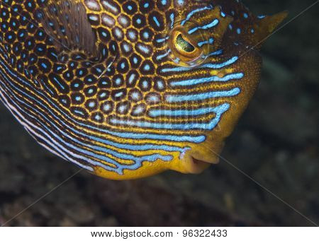 Ornate Cowfish (male)