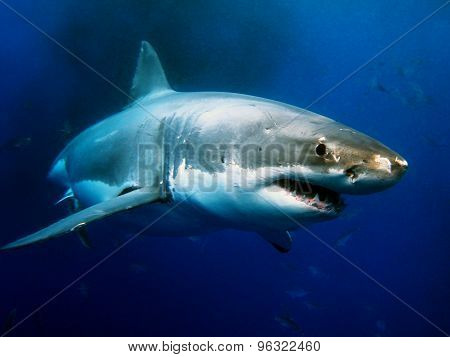 Beautiful, powerful and amazing looking creature beside a nightmare opinion from the peoples haven't see face to face underwater with this guy