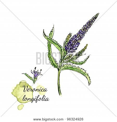 PrintMedecenal herb - Veronica longifolia. Watercolor botanical illustration. Vector artwork