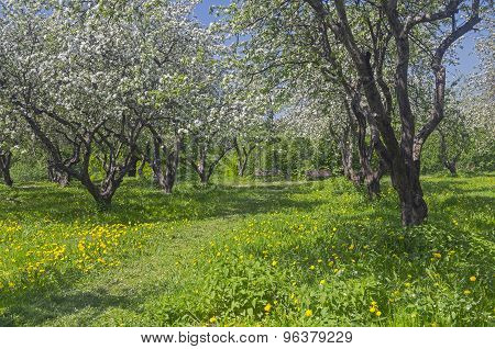 The Path In An Old Abandoned Apple Orchard During Flowering.