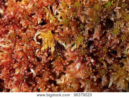 Moos Sphagnum papillosum