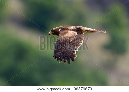bird of prey flying (aquila pennata)