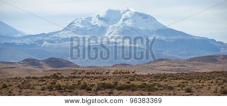 Group of Vicuna on the Altiplano