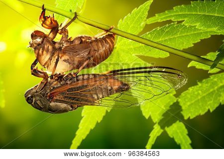 Cicada metamorphosis (Latin Cicadidae),Last molt - the transformation into an adult insect.