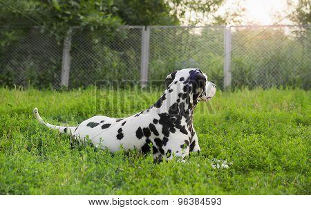 Dalmatian Dog Lying On Green Grass