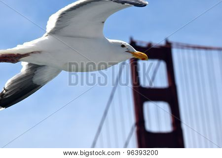 Seagull Flies Near The Gold Gate Bridge