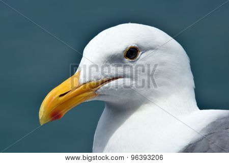 Close Up Of A Perfect Seagull