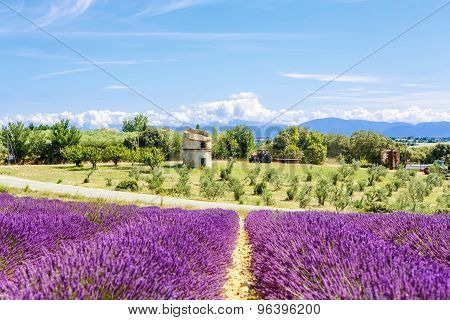 Blossoming Lavender Fields In Provence, France.
