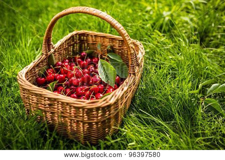 Freshly picked cherries in a basket in the garden