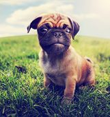 a cute baby pug chihuahua mix - chug at a local park or a backyard - wide angle lens (SHALLOW DOF - on the nose) toned with a retro vintage instagram filter app or action  poster