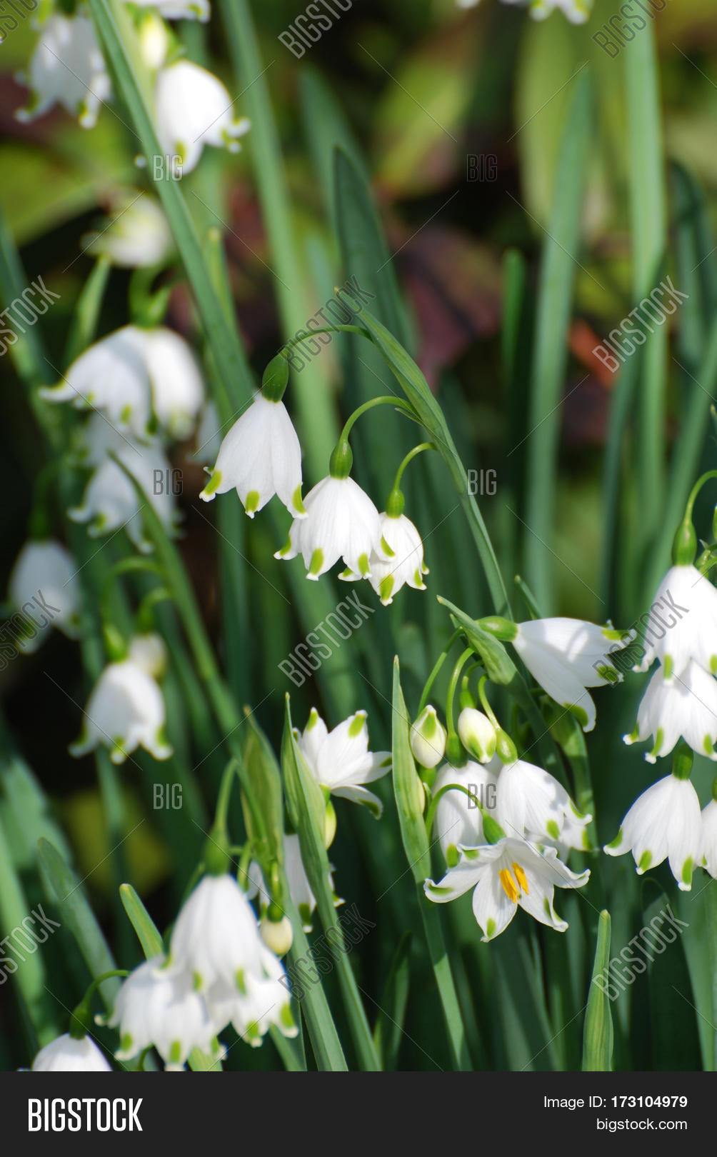Gorgeous Blooming Snow Image Photo Free Trial Bigstock