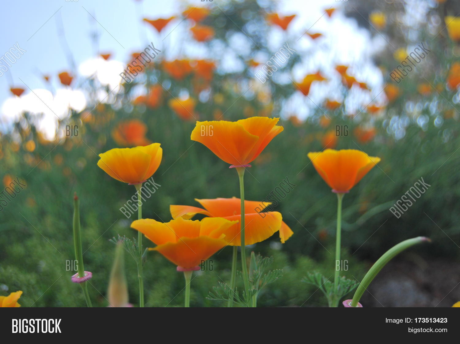 Yellowish Orange Poppy Image Photo Free Trial Bigstock