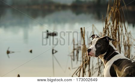 American Pit Bull Terrier by pond with ducks