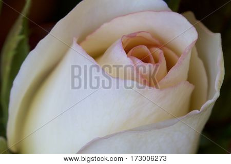 A white rose with pink tips (macro photograph)