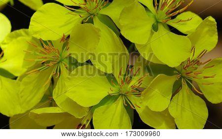 Ochna Integerrima Flowers At Spring Time