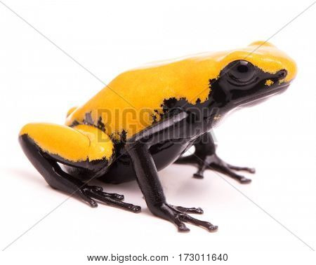 Adelphobates galactonotus, yellow splash backed or splashback poison dart frog. A poisonous rain forest animal from the Amazon rainforest in Brazil. Isolated on a white background.
