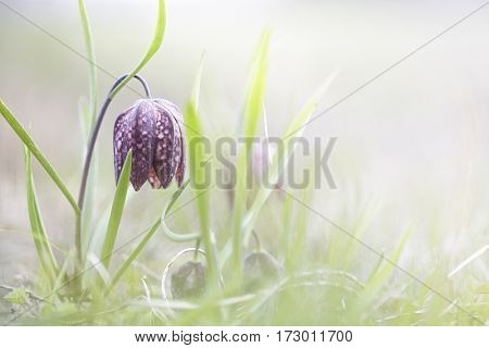 Spring flowering wildflower, Fritillaria meleagris. High key image of a pink wild flower.