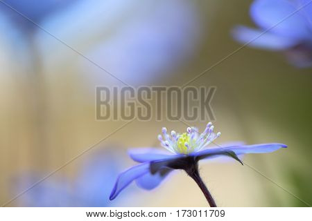 Blue wild flower abstract, Hepatica nobilis or liverleaf.