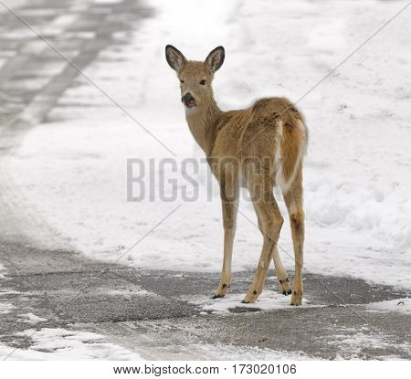 Whitetail Fawn in the snow