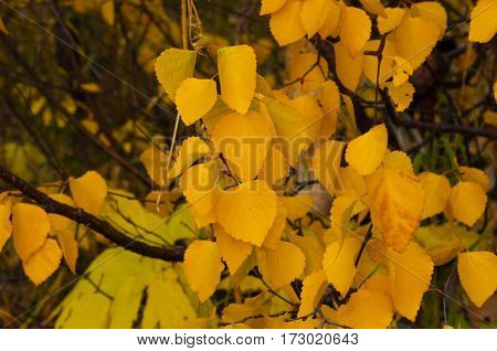 yellow autumn leaves close up against the background of branches of bushes