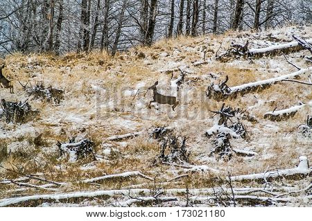Mule deer bounding through an area of tall grasses and fallen trees