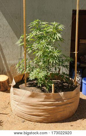 illegal cannabis grow in California