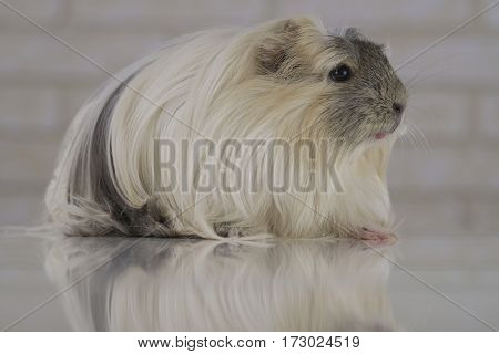 Beautiful funny Guinea pig breed Coronet cavy