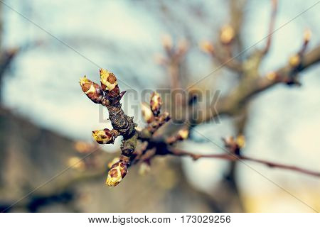 The first spring gentle leaves buds and branches young branches with leaves and buds First sprout on tree branch. Nature awakening in spring