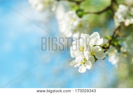 blurred apple tree background. Spring flowers on beautiful sunny day