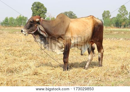Brown and white bull was left unsupervised natural food.