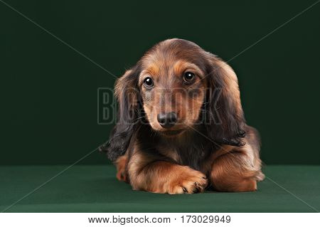 Healthy young longhaired dachshund dog puppy on green background in studio.