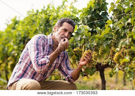 Male vintner eating grapes in vineyard