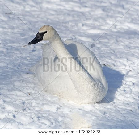 A trumpeter swan resting near the bank of a river in Winter.